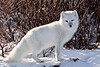 Polar Bears, Foxes, and more Arctic Winter 2011 : polar bears and more from Churchill Manitoba