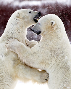 A real bear hug