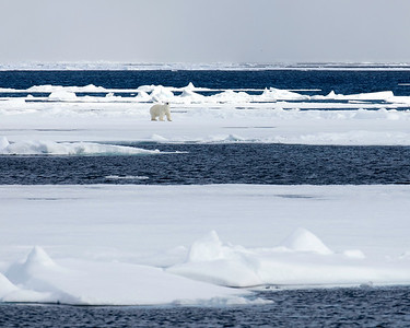 The Arctic  Polar Bears, Foxes, Whales, and more
