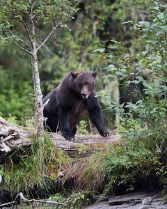 The spirit bear rain forest of British Columbia